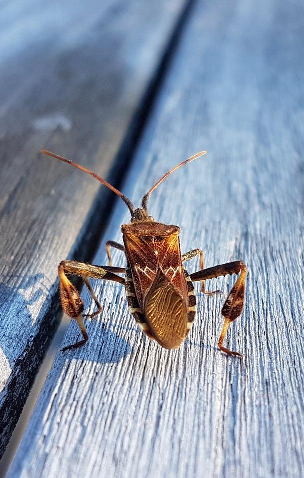 An American pine bug.