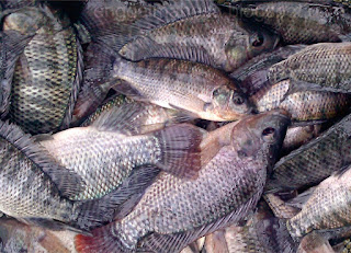Bioteknologi Bioboost K Link Bududaya Ikan Nila