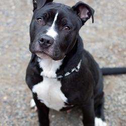 Good News for Pits Black And White Pitbull Dogs