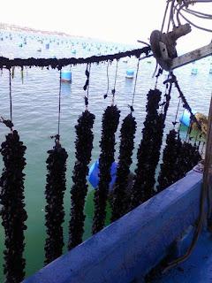 «Παρακολούθηση τοξικών ή/και δυνητικώς τοξικών μικροφυκών στις ζώνες παραγωγής και αλιείας διθύρων μαλακίων της ΠΕ Πιερίας»