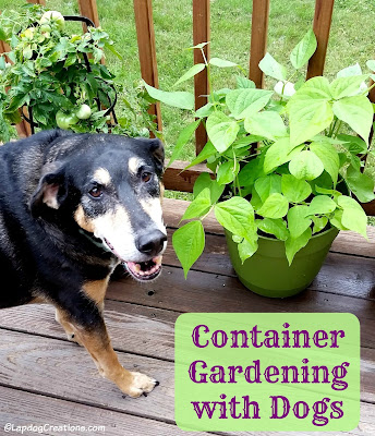 Container Gardening with the Lapdogs #ContainerGardening #GardeningWithPets #DogsandGardens ©LapdogCreations