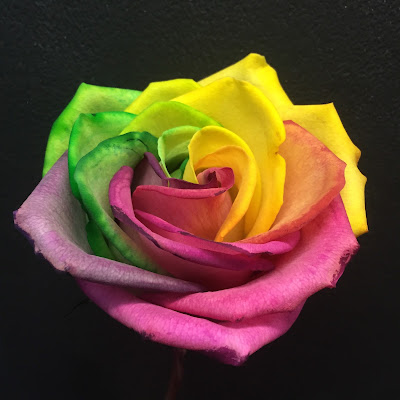 Rainbow Rose at Stein Your Florist Co.