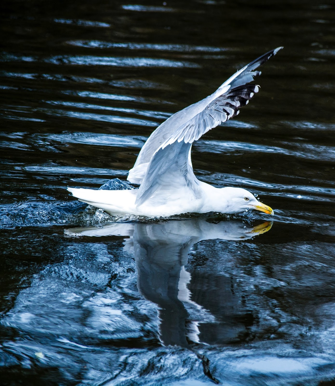 Picture of seagull landing on water.