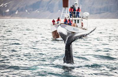 Cola de ballena durante un avistamiento en Akureyri
