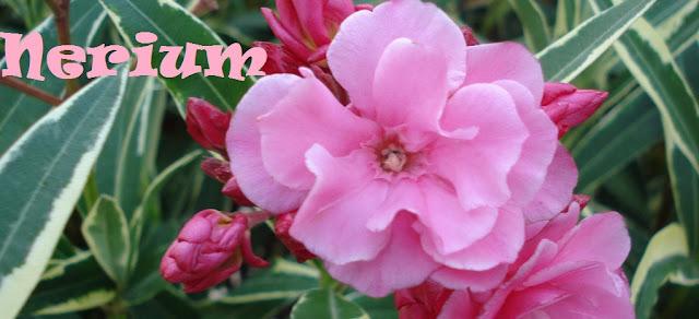 http://plantukis.blogspot.com.es/2016/11/nerium-genero-informacion-y-video.html