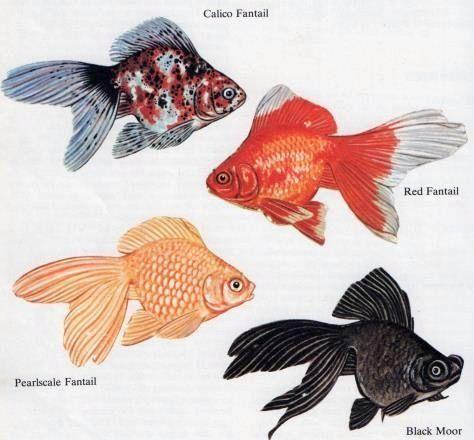 Goldfish Types ~ Goldfish Lifespan