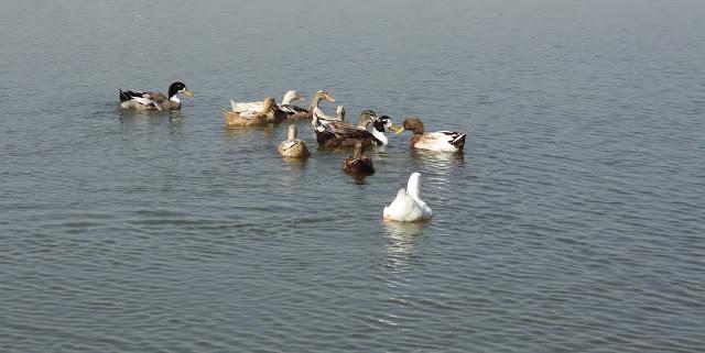 Ducks at Katraj Lake