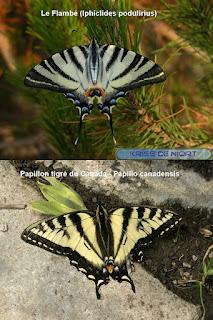 Comparaison entre le Papillon tigré du Canada - Papilio canadensis et le Flambé - Iphiclides podulirius