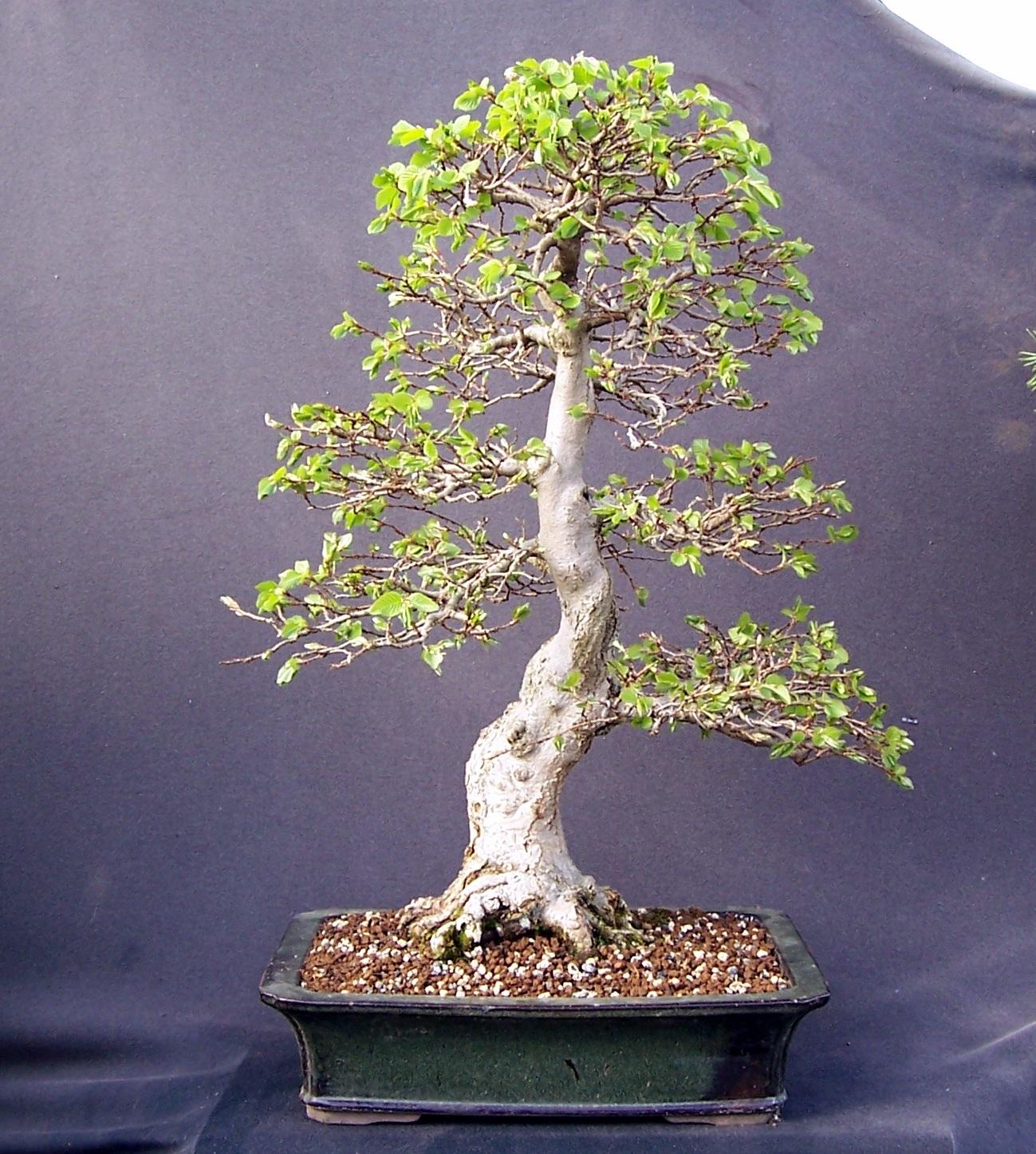 Bonsai Tree 21 Awesome Korean Hornbeam Bonsai Pictures