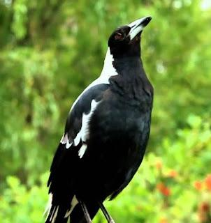 download mp3 suara burung jagal australi