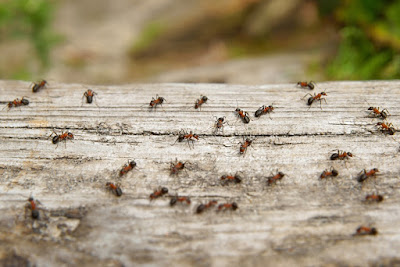 افضل واسرع وارخص طريقه في مكافحة النمل
