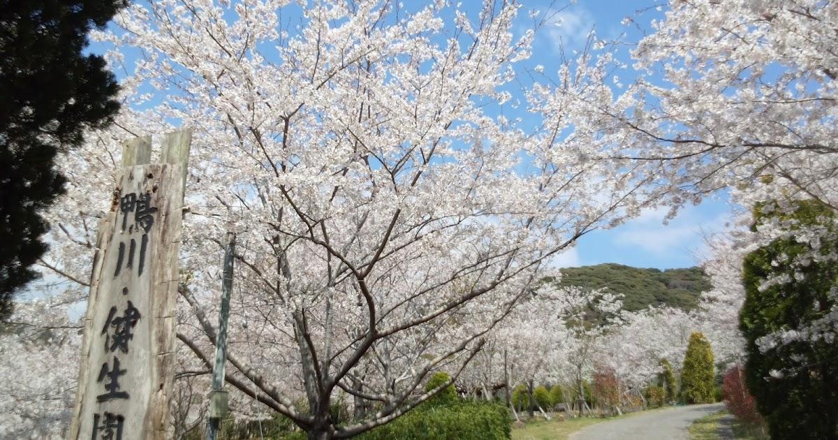 Love Adventure Racing!: 桜満開の健生園