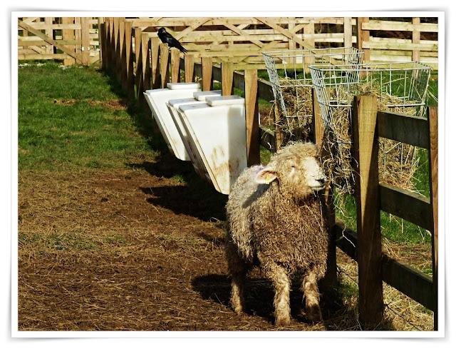 Sheep at Lost Gardens of Heligan, Cornwall