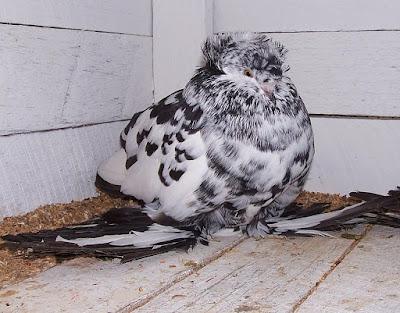 pigeons fall - english pigeons