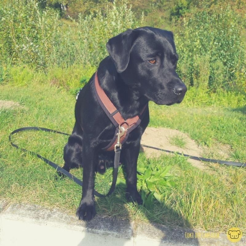 Schwarzer Labrador im Grünen