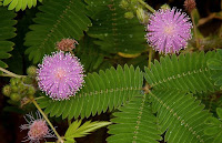 Flores de Sensitiva