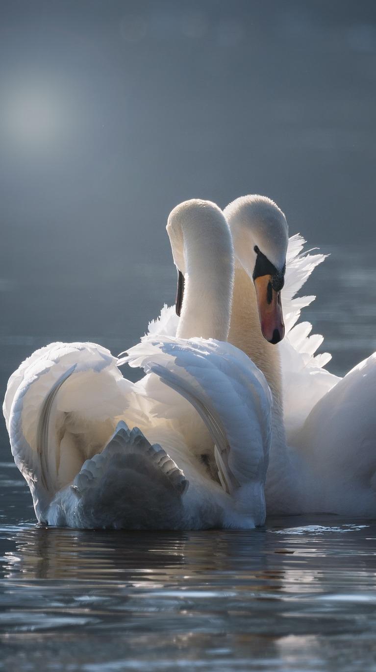 Graceful swan love pair.