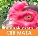 ayam bangkok dengan mata yang bagus