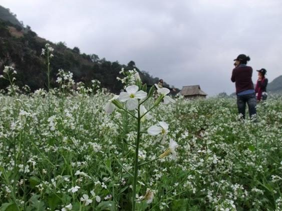 Kinh nghiệm du lịch Mộc Châu Sơn La mùa hoa cải trắng