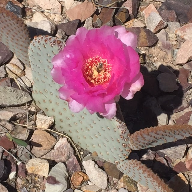 Hot pink cactus flower blooming in Arizona