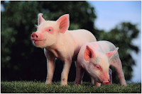 Pigs, pig Amazing Facts
