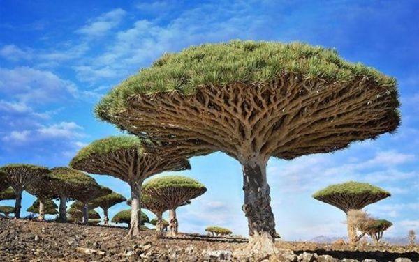 أشجار دم العنقاء في اليمن