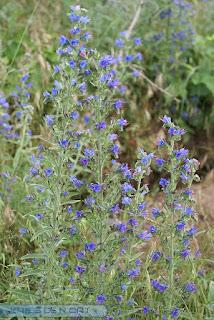 Viperine commune - Vipérine vulgaire - Echium vulgare