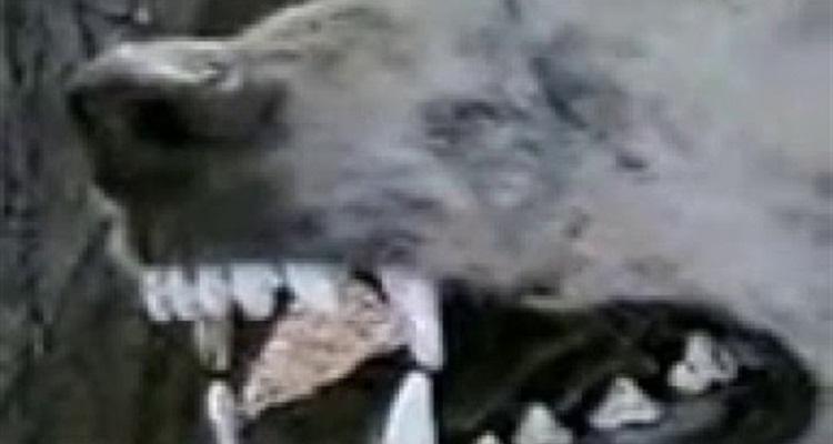 عاجل - ظهور حيوان آكل للحوم البشر في السعودية
