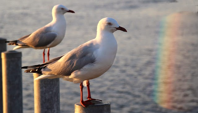 Seagulls (7) per bert knottenbeld a Flickr