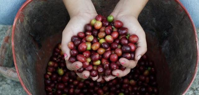Syngenta hợp tác cà phê Việt Nam
