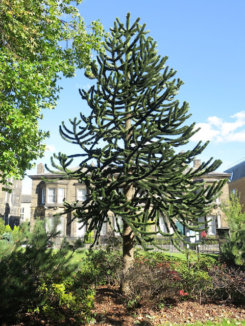 Monkey Puzzle Tree with building in background.