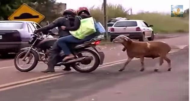 Proganja vas ovca manijak?!