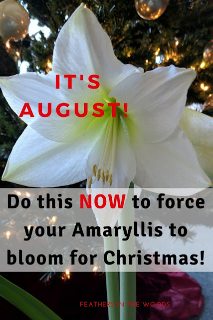 White Amaryllis forced to bloom by going dormant in August