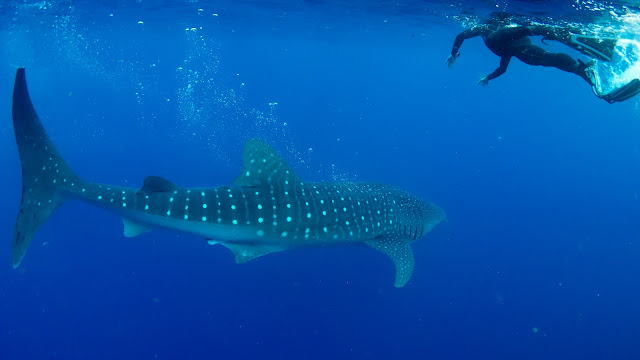 Diver get closer to whaleshark, to have ultimate experience.