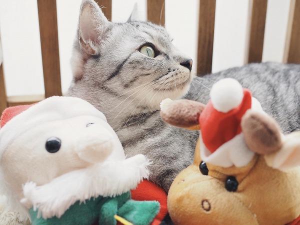 サンタとトナカイのぬいぐるみに囲まれるサバトラ猫