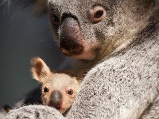kantong koala