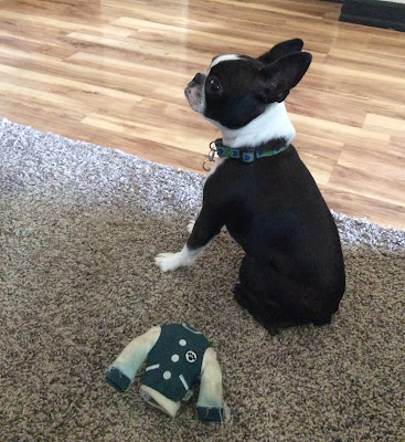 Boston terrier and her toy