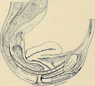 The inside of a woman's vagina - muscles and tissues