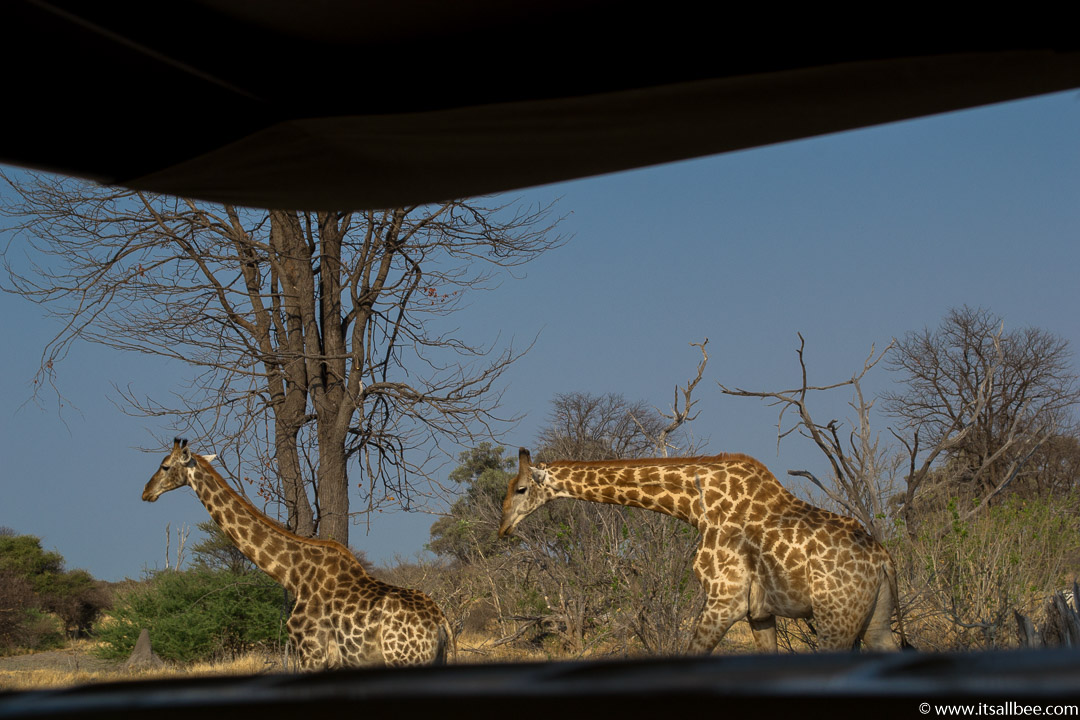 Visions of Wild In Africa's Botswana | Okavango Delta Safari | giraffes