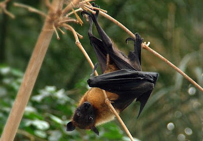 Indian Flying Fox,Pteropus giganteus, climate change and bats