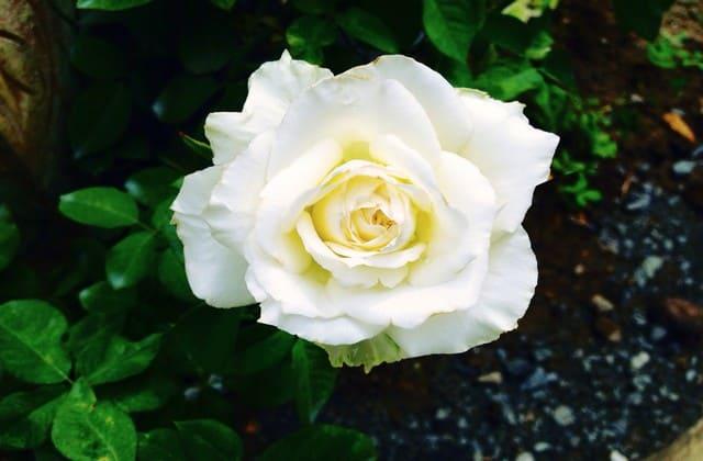 bunga mawar putih memanjakan mata