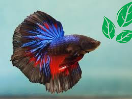 Cara Budidaya Ikan Cupang Di Kolam Omset Puluhan Juta