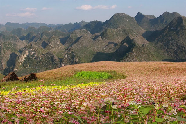 Behind The Colorful Flower Fields of Ha Giang Stone Plateau 3