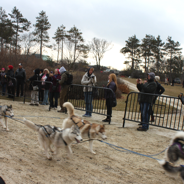 Husky dog sled demo at The Morton Arboretum