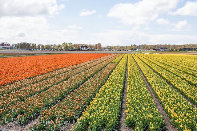 Tulip fields, Lisse