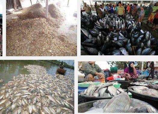 Limbah Pasar Pakan Alternatif  Budidaya Ikan Lele