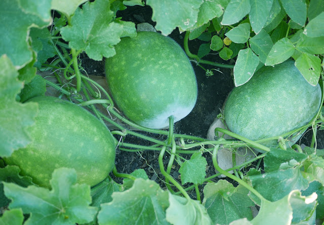 winter melon