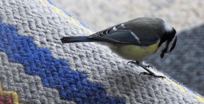 sinitiainen, lintu