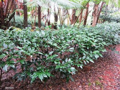 tea plants, Hawaii Tea, Volcano, Hawaii