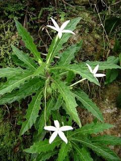 Bunga Kitolod merupakan ramuan alami atau herbal untuk penyakit mata minus dan selindris. Tidak perlu ke dokter mata atau rumah sakit.
